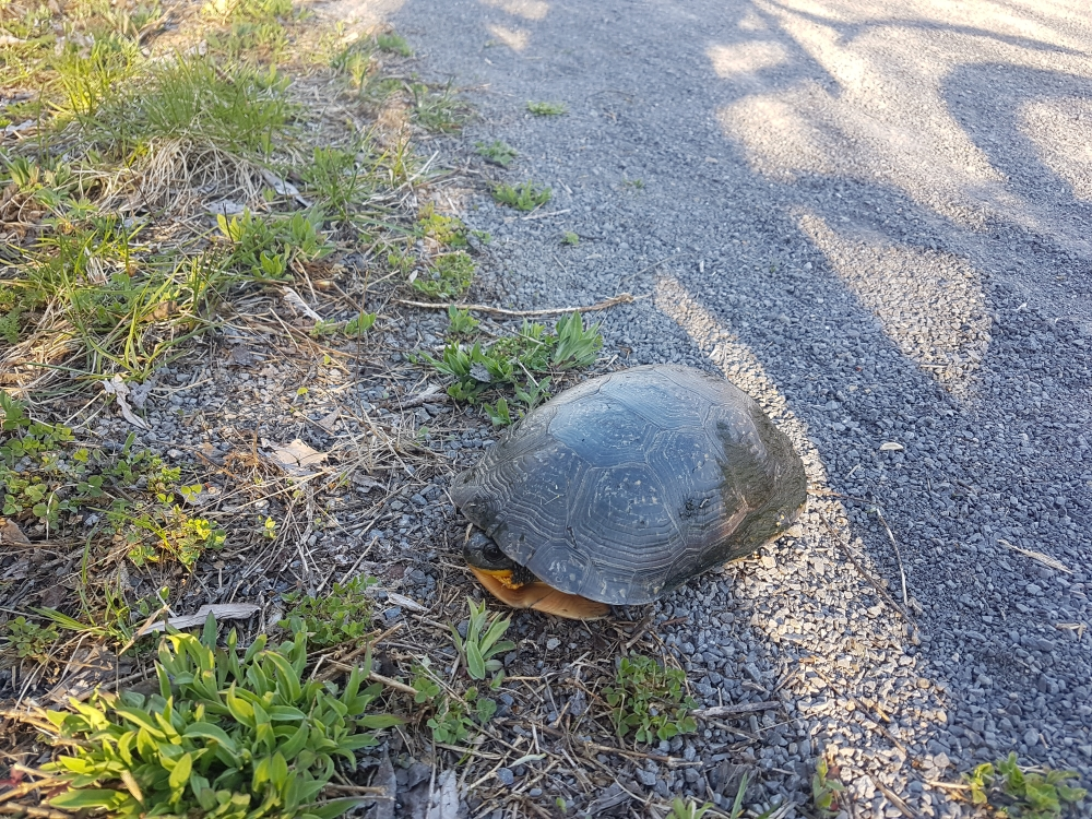 Turtle seen while cycling on the Prescott-Russell trail