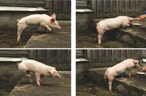 Wild-type and DMD piglets climbing a step